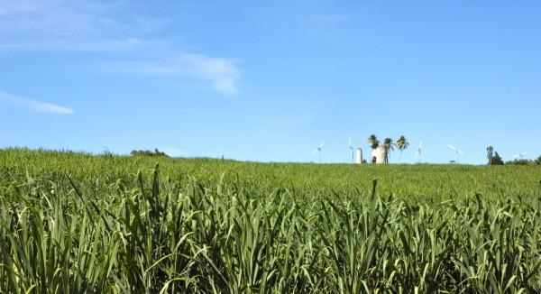 Champs de canne à sucre, Marie-Galante, Guadeloupe