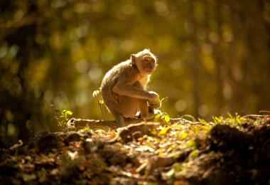 Singe de la forêt de Kompung Thom, Cambodge