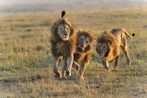 Des Lions en bande