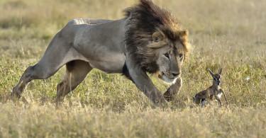 Un Lion à la chasse