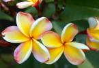 Fleurs de Lanzarote - Espagne