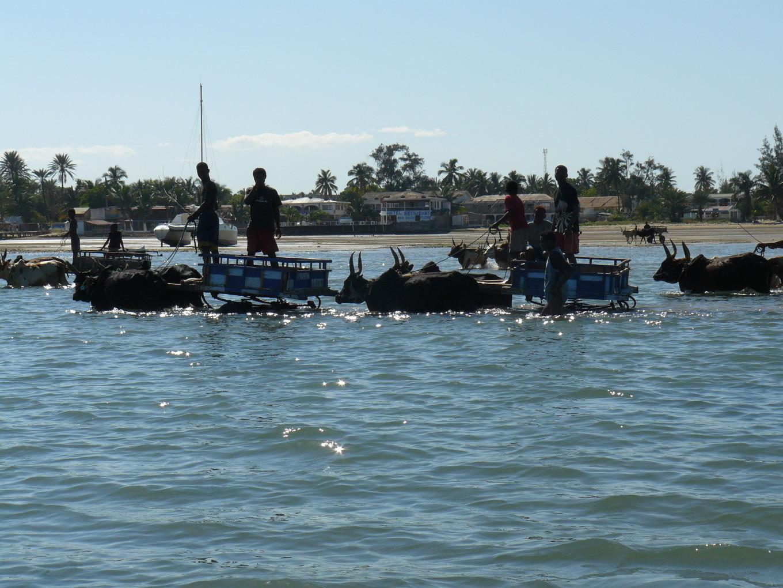 Pêcheurs avec zébus dans le canal de Mozambique, Toliary - Madagascar