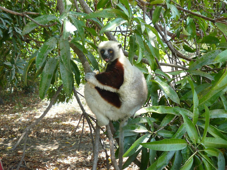 Lémurien - Madagascar