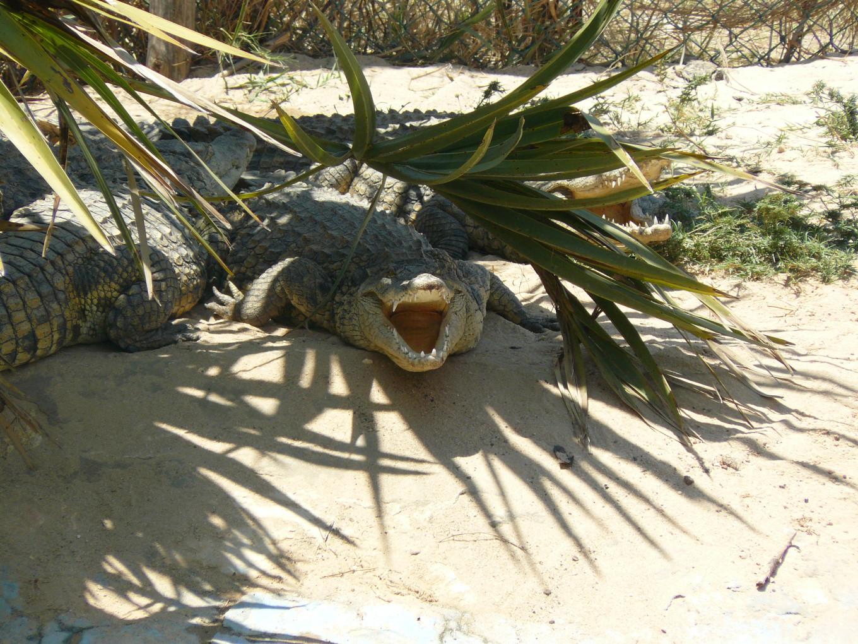 Crocodile, considéré comme un ancêtre - Madagascar