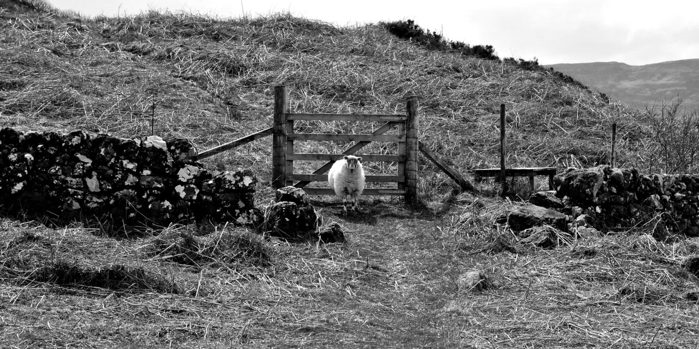 Typical sheep - Ecosse