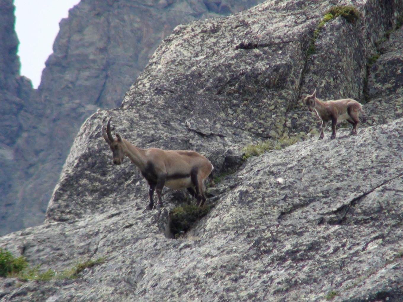 Des chamois aux Aiguilles Rouges, Chamonix
