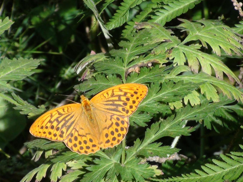 Papillon sur le sentier du Bérard, Chamonix