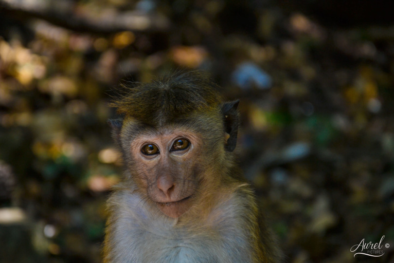Little Monkey, Dambulla, Sri Lanka