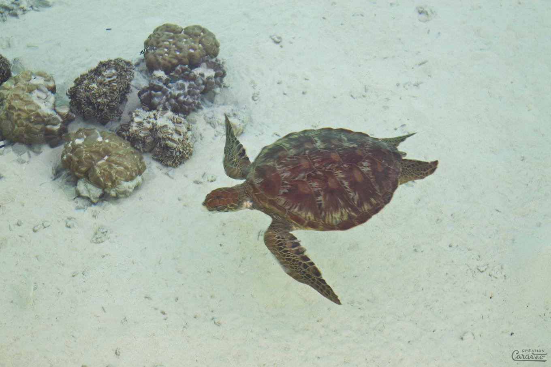 Tortue verte, Bora Bora, Polynésie Française