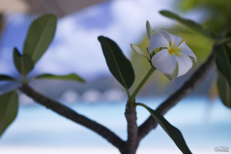 Fleur de frangipanier, Bora Bora, Polynésie Française