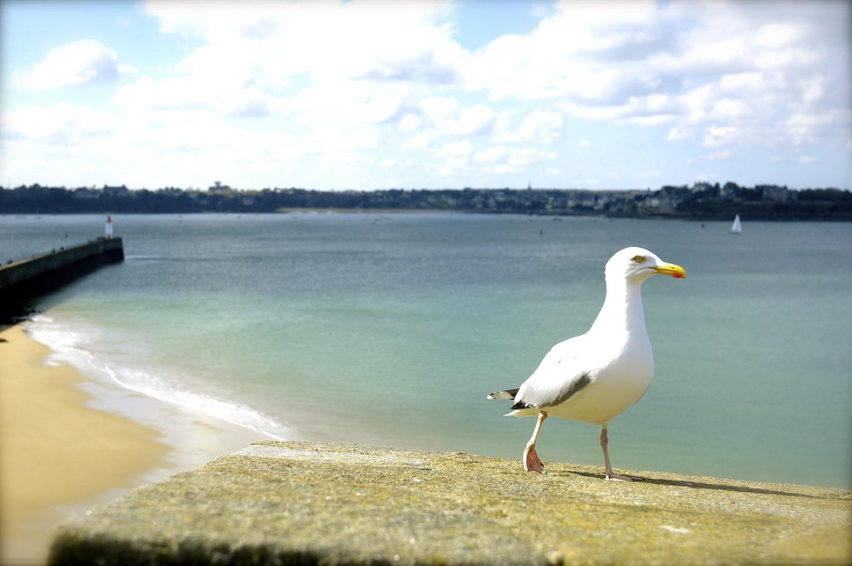 mouette sur les remparts de Saint-Malo