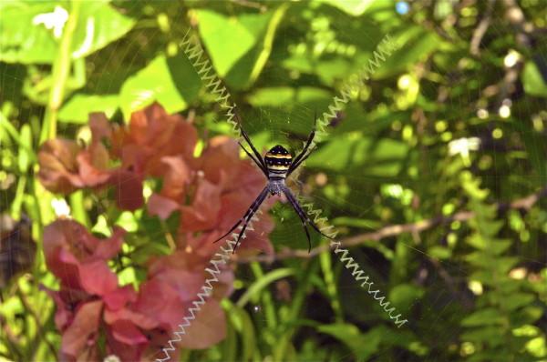 Araignée sur le sentier du Koyaboa, Poindimié, Nouvelle-Calédonie