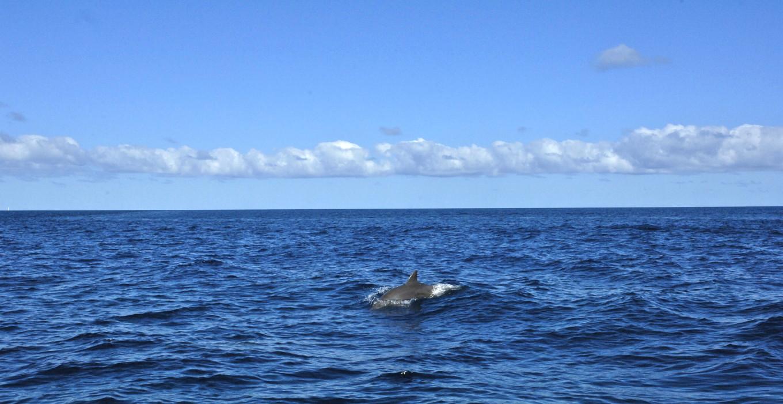 Dauphin au large, Nouméa, Nouvelle-Calédonie