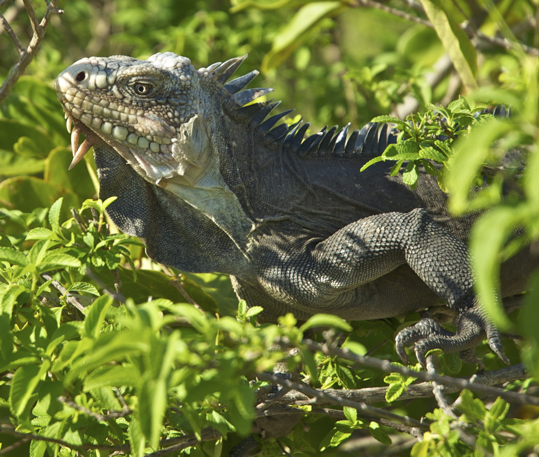 Iguane antillais, Petite Terre