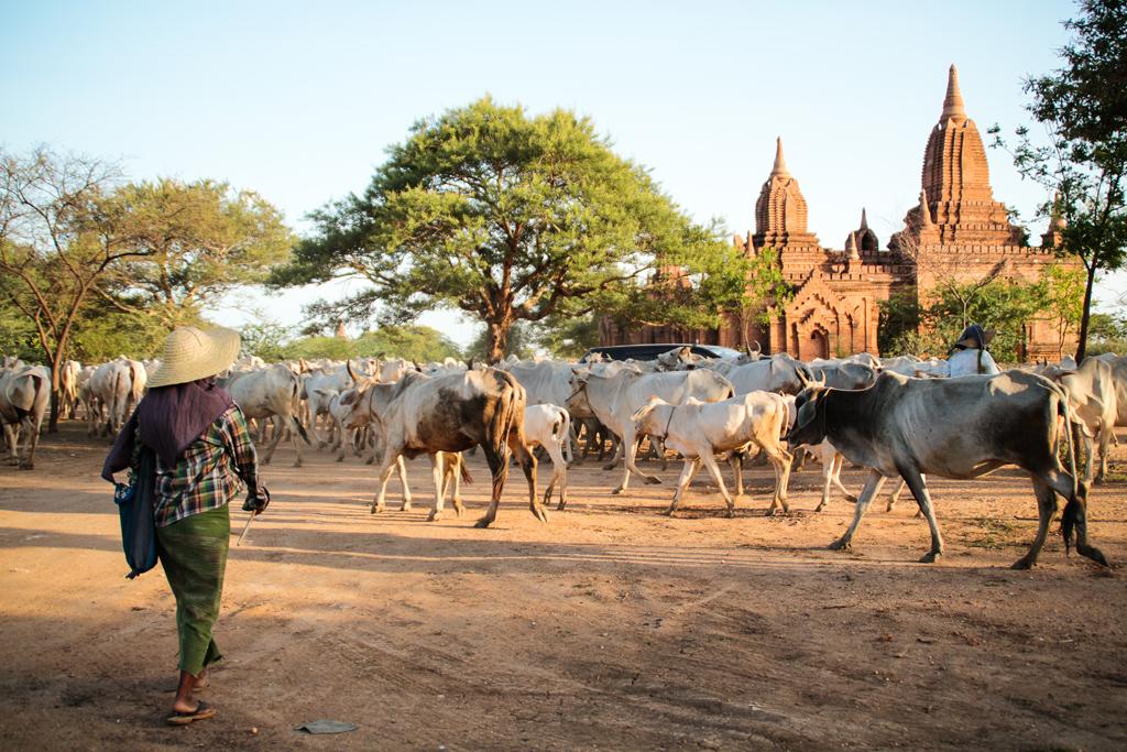La vie aux pieds des temples, Bagan, Myanmar