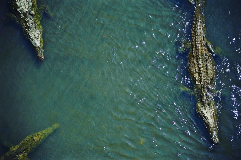 crocodiles vu du dessus pont de tarcoles Costa Rica