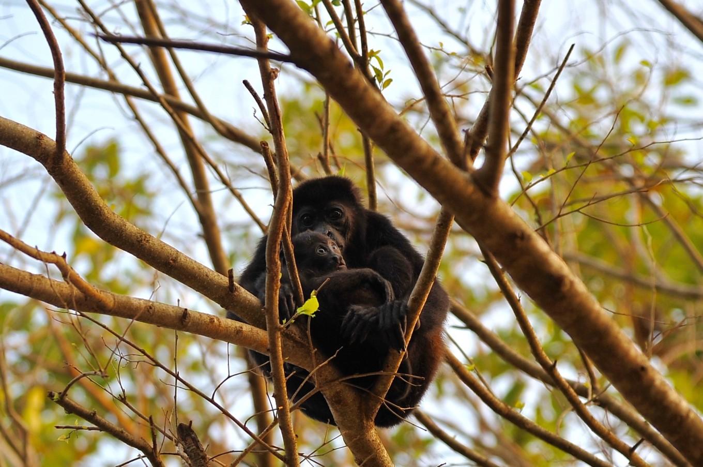Singe hurleur et son bébé à Montezuma, Costa Rica