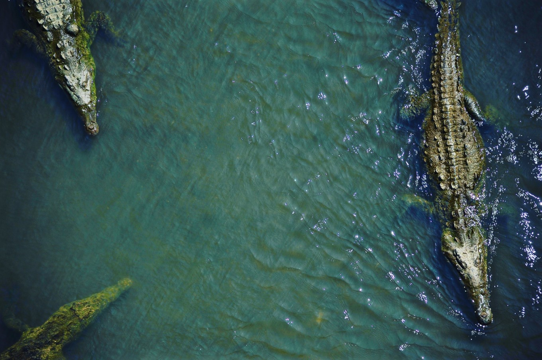 crocodiles pont de Tarcoles Costa Rica
