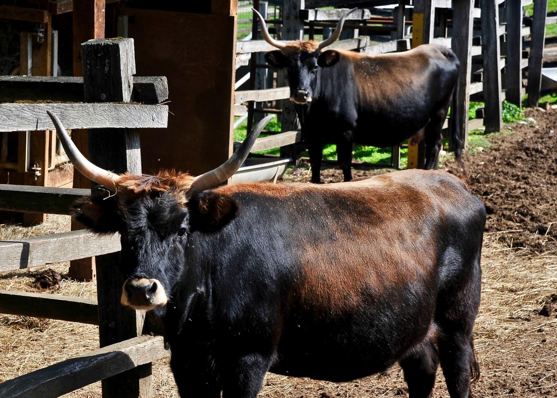 Aurochs, espèce reconstituée du Parc du Thot