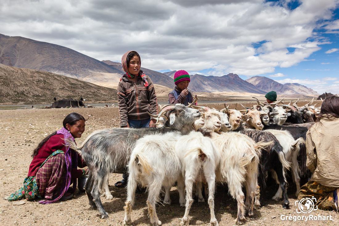 traite des chèvre pashmina sur les hauts plateaux de l'Inde
