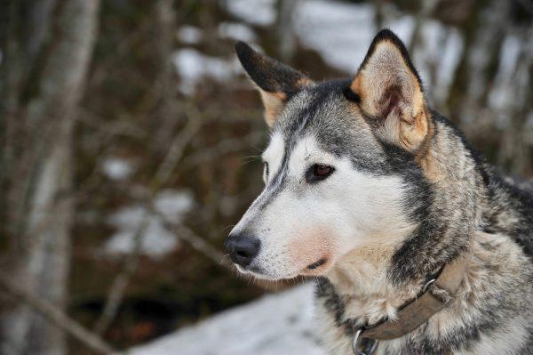 Les chiens de François, Alpes du Léman