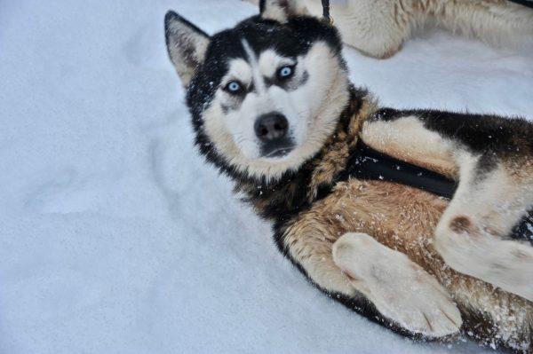 Moment détente pour les chiens de traîneaux, Alpes du Léman