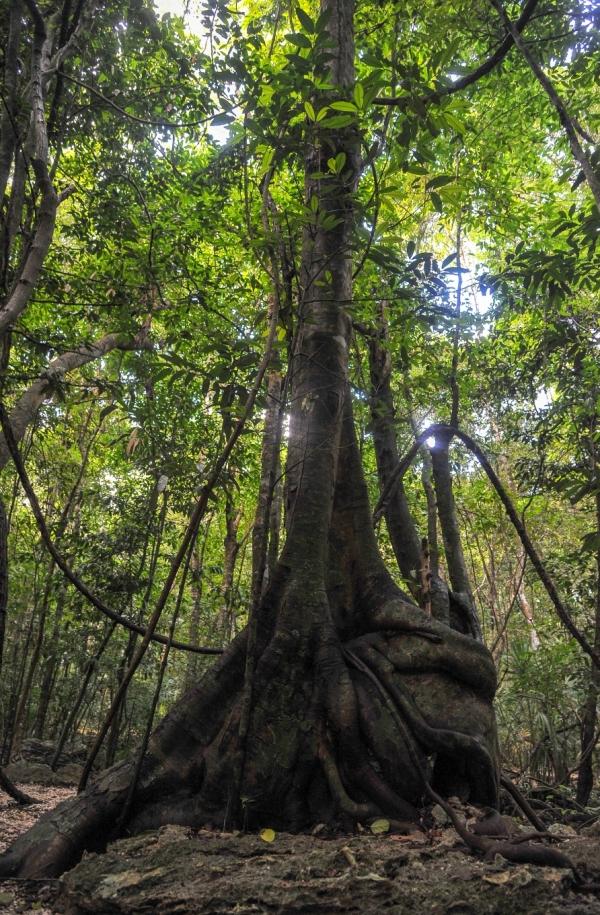 arbre-reserve-sian-kaan-mexique