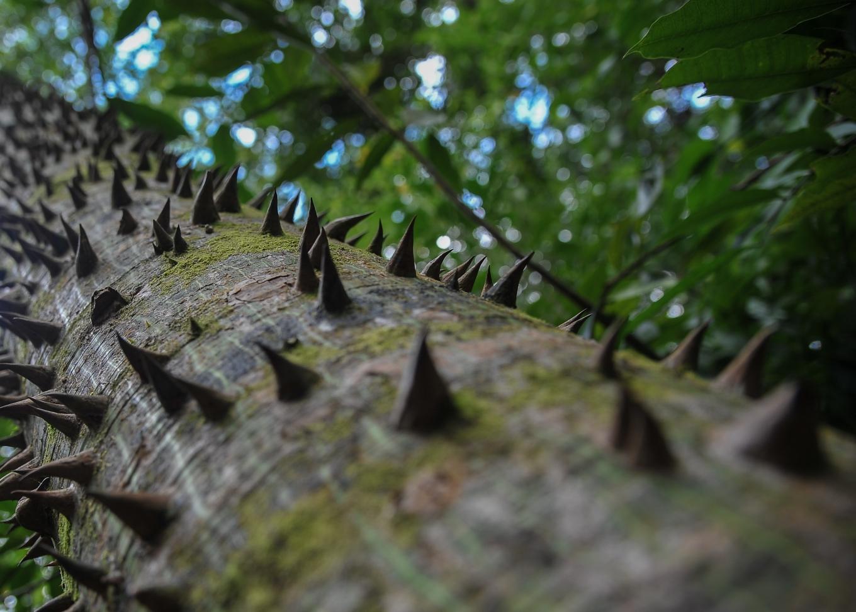 arbre ceiba yucatan