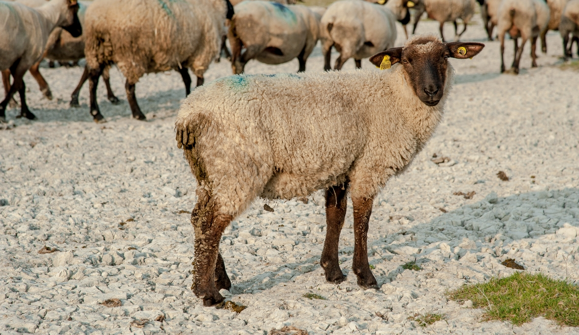 Mouton de pres sales, Bretagne